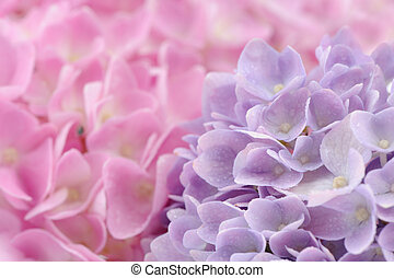 Beautiful Pink and Purple Hydrangea Flowers with Water Drops...
