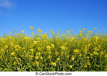 Edge of yellow rapaseed field with blue sky