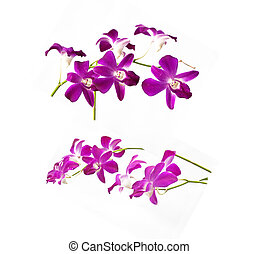 Purple White  Orchids Isolated on White Background