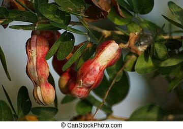 Ripe Pithecellobium dulce bean