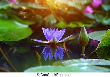 Beautiful purple water lily on black water.