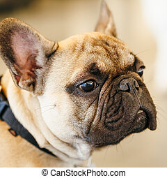 Dog French Bulldog Close Up Portrait