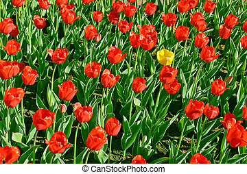 amarillo, tulipán, rojo