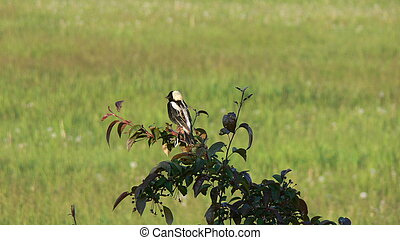 bobolink - Dolichonyx oryzivorus on a tree branch