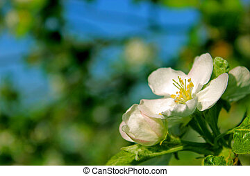 Apple blossom on a background of blue sky and branches