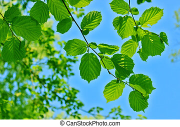 Alder leaves against the blue sky and tree