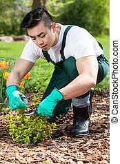 Cropping a plant in a garden - Asian gardener cropping a...
