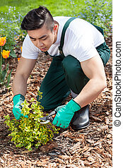 Asian gardener cropping a plant in garden