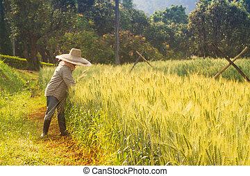grano, raccogliere