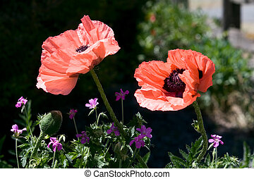 Giant Pink Poppies - Giant pink poppies (Papaver somniferum)...
