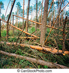 Windfall in forest. Storm damage. Fallen trees in coniferous...