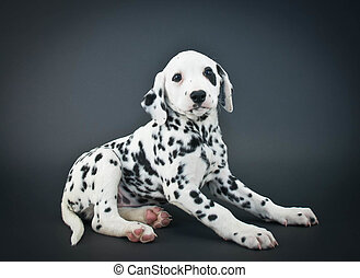Dalmatian Puppy - Cute Dalmatian puppy sitting on a black...