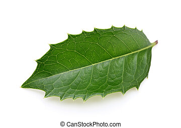 holly leaf on white background
