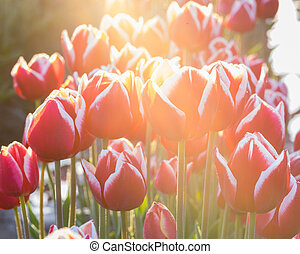 High key image of blooming tulips