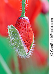 Poppy bud in macro