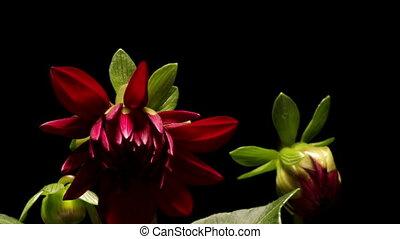 Dahlia Flower Timelapse