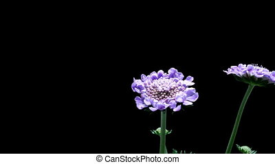 Pincushion Flower Timelapse - Time-lapse of a pincushion...