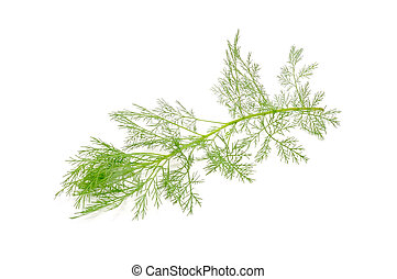 Southernwood (Artemisia Abrotanum) Branch Isolated on White...