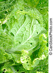 Chinese Cabbage Bok Choy Damaged by Pests Close-up
