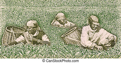 Farmers picking tea on 500 francs banknote from Rwanda