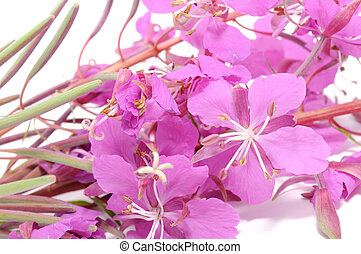 Fireweed (Rosebay Willowherb) Flowe - A close-up of pink...