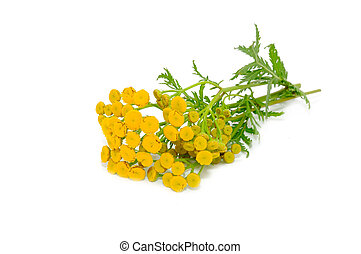 Tansy Tanacetum Vulgare Flowers Isolated on White Background...