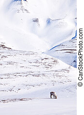 Reindeer - A single reindeer in a dramatic landscape on...