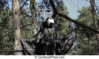 Vulture in the cage