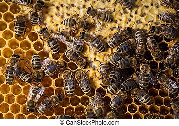 macro, tiro, abejas, enjambrando, Panal