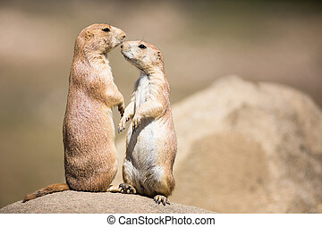 Two prairie dogs (Cynomys ludovicianus) in close...