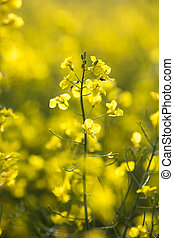 Colza Brassica rapa