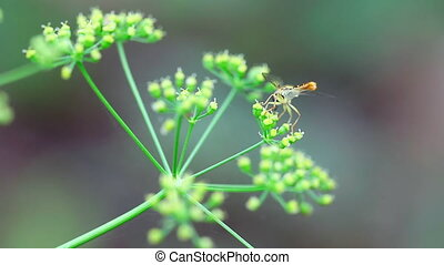 Dragonfly - Tiny dragonfly collecting nectar from a fennel...