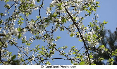 chafer fly bloom tree - chafer beetle bug fly and fruit tree...
