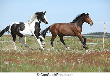 Two amazing horses running on spring pasturage - Two amazing...
