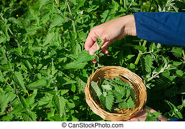 gardener woman hand pick lemon-balm herb plant