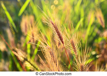 wheat grass in the light