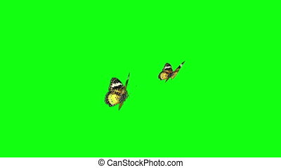 yellow butterflies green screen - The couple of butterfly...