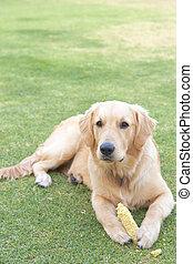 Golden retriever puppy - Obedient golden retriever puppy...