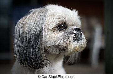 Closeup of the Face of a Shih Tzu Dog - The face of a cute...