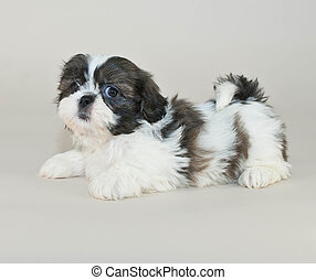 Shih-Tzu Puppy - Shih-Tzu puppy laying with his cute little...