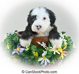 Sheepdog Puppy - Cute Sheepdog puppy sitting in a bucket...