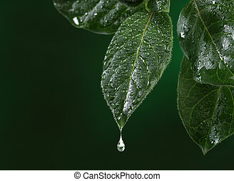Fresh leaf with water drop falling.