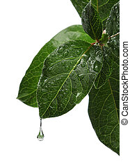 Fresh leaf with water drop falling