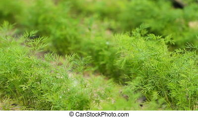 Fresh Dill on the Garden with slider