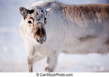 Reindeer - A wild reindeer on the island of Spitsbergen,...
