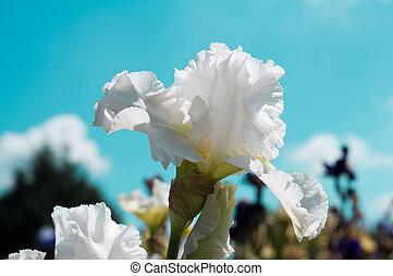 White iris - white iris flower on turquoise sky background...