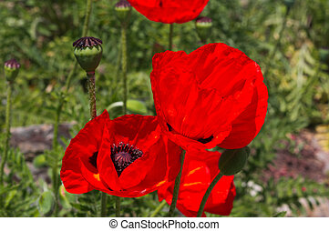 Papaver rhoeas - Red papaver rhoeas on green background in...