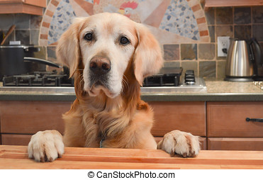 dog in kitchen - Golden retriever staiding up behind a...