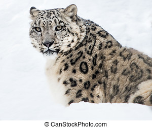 Snow Leopard - Portrait of Snow Leopard sitting in snow