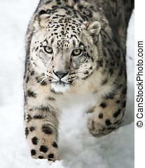Snow Leopard on the Prowl III - Frontal portrait of Snow...